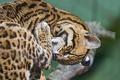 Картинка кошка, умывание, оцелот, ©Tambako The Jaguar