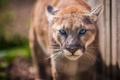 Картинка взгляд, пума, дикая кошка, горный лев, кугуар