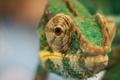 Картинка макро, природа, хамелеон