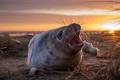 Картинка пляж, рассвет, утро, детеныш, серый тюлень, белек