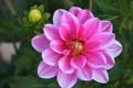 Картинка цветение, георгин, flowering, Dahlia