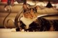 Картинка кошка, взгляд, лежит, трехцветная, пятнистая