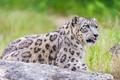Картинка язык, хищник, леопард, ирбис, снежный барс