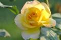 Картинка роза, лепестки, бутон, жёлтая, жёлтая роза
