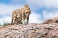 Картинка природа, зверь, гепард