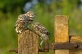 Картинка птицы, забор, совы