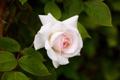 Картинка роза, листья, лепестки, бутон