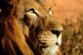 Картинка лев, Lion, Leo, lev