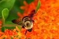 Картинка пчела, нектар, собирает, цветы