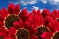 Картинка небо, красные, Подсолнух