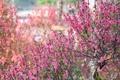 Картинка ветки, розовый, весна, цветение