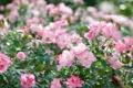 Картинка листья, розы, сад, розовые