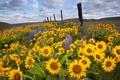 Картинка поле, подсолнухи, цветы, забор