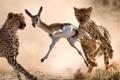 Картинка охота, гепард, саванна, африка