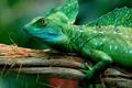 Картинка legs, eyes, scales, basilisk lizard