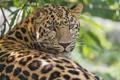 Картинка кошка, леопард, амурский, ©Tambako The Jaguar