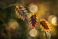 Картинка трава, макро, растение, колоски, боке