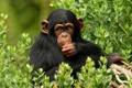 Картинка природа, лес, обезьяна, шимпанзе, примат