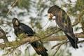 Картинка природа, black cockatoo, птицы