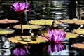 Картинка Water, Wallpaper, Purple Flowers, Frogs, Lily Pads