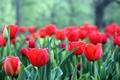 Картинка цветы, лепестки, тюльпаны, красные