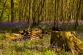 Картинка лес, трава, деревья, цветы, пень, весна, колокольчики