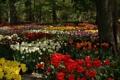 Картинка деревья, цветы, парк, тюльпаны, клумба