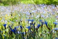 Картинка голубые, поле, размытость, цветы