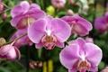 Картинка розовая, Орхидея, нежная