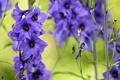Картинка цветы, природа, нежность, голубые, синие, дельфинум