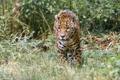 Картинка заросли, хищник, ягуар, прогулка, дикая кошка, зоопарк