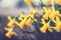 Картинка цветок, макро, цветы, растение, flower, нарциссы