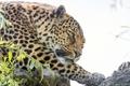 Картинка кошка, морда, леопард, ©Tambako The Jaguar