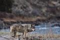 Картинка Beautiful, Hunter, Predator, Gray Wolf, River, Majestic, Canine