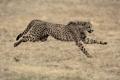 Картинка бег, гепард, семейство кошачьих
