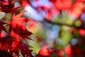 Картинка осень, листья, макро, клен, багрянец
