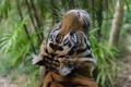 Картинка дикая кошка, морда, хищник, тигр, усы