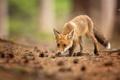 Картинка взгляд, животное, лиса, шишки, лисица