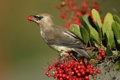 Картинка птица, клюв, свиристель, ягоды