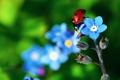 Картинка цветок, растение, божья коровка, жук, лепестки, насекомое