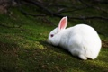 Картинка белый, трава, ветки, кролик, резкость