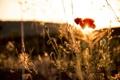 Картинка цветок, лето, солнце, красный, мак, лепестки