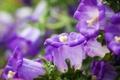 Картинка макро, цветы, фиолетовые, колокольчики