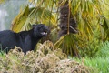 Картинка кошка, трава, взгляд, чёрный, ягуар, ©Tambako The Jaguar