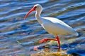 Картинка вода, птица, клюв, ибис