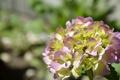 Картинка цветок, листья, макро, гортензия