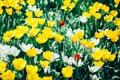 Картинка цветы, фотограф, тюльпаны, photography, photographer, Björn Wunderlich