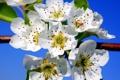 Картинка небо, макро, цветы, весна, лепестки, сад
