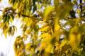 Картинка листья, желтый, осень, дерево