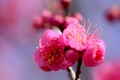 Картинка цветок, ветка, лепестки, сад